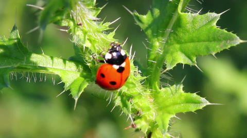ladybug on green grass macro Footage