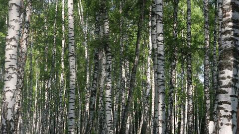 summer birch forest in Russia Footage