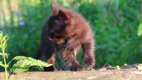 little black kitten plaintively mew outdoor Live Action