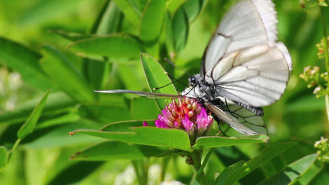white butterflies copulate on flower - aporia crat Footage