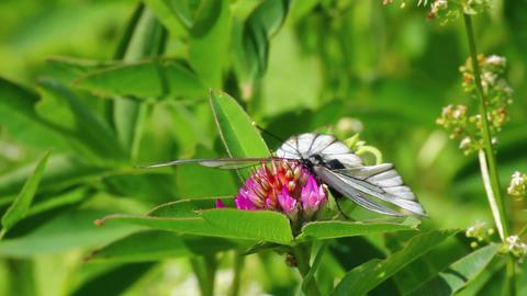 white butterflies copulate on flower - aporia crat Stock Video Footage