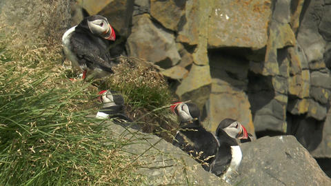 group of atlantic puffins in Iceland closeup Live Action