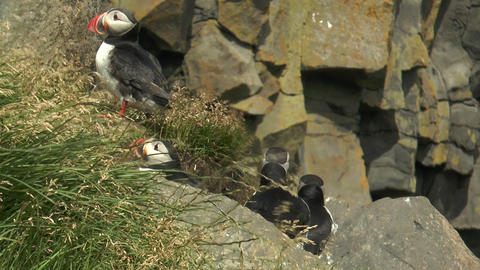 group of atlantic puffins in Iceland closeup Stock Video Footage