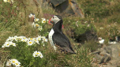 Atlantic Puffin closeup Stock Video Footage