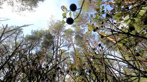 wood and black very ripe berries of bilberry Footage