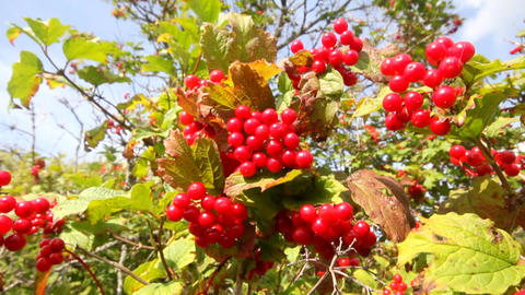 snowball tree red berries close up Stock Video Footage