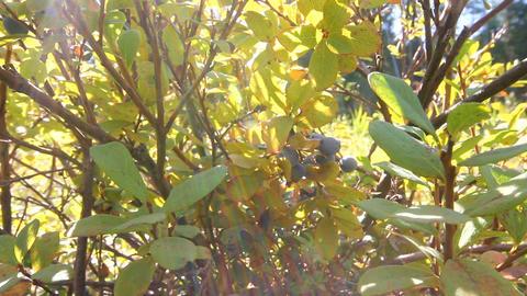 swamp blueberry berries Footage