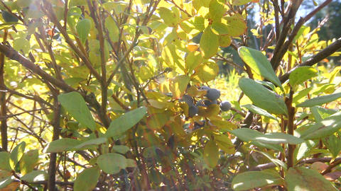 swamp blueberry berries Stock Video Footage