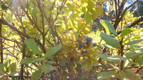 swamp blueberry berries Stock Video Footage