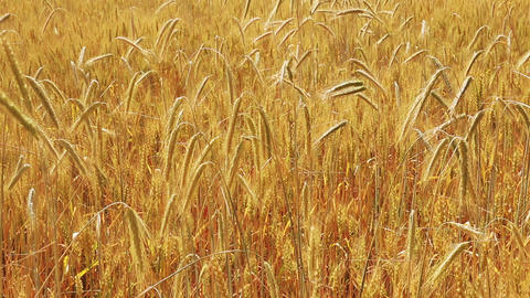 yellow field with ripe wheat Footage