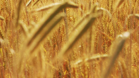 yellow field with ripe wheat - change of focus Stock Video Footage