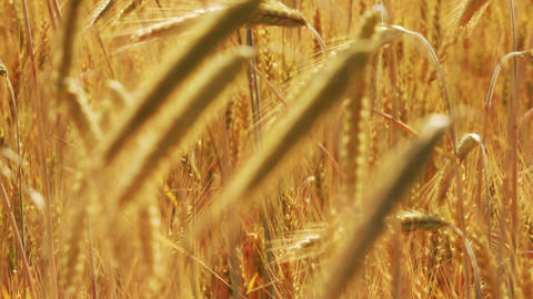 yellow field with ripe wheat - change of focus Footage