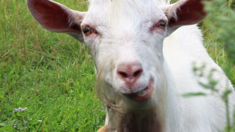 white goat looking to you Stock Video Footage
