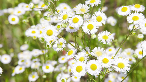 Camomile field with camera motion defocusing Footage