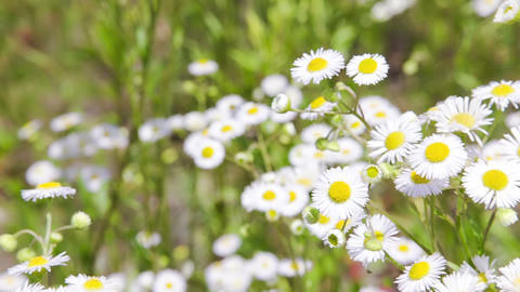 Camomile field with camera motion defocusing Stock Video Footage