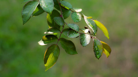 Dew Drops On The Leaves Of Roses. RAW Video 2 Stock Video Footage