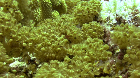 Red pulse soft coral Stock Video Footage