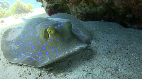 Blue Spotted stingray under the coral reef Stock Video Footage