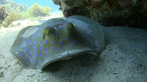 Blue Spotted stingray under the coral reef Footage