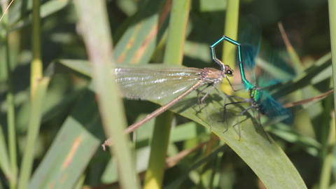 dragonfly pairing. Sex Stock Video Footage