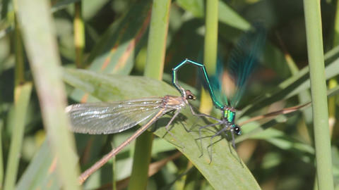 dragonfly pairing. Sex Footage