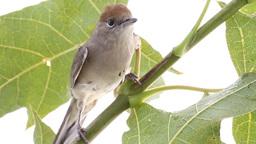 bird on a maple (Black-cap) Stock Video Footage
