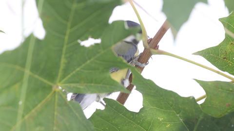 bird titmouse on tree Stock Video Footage