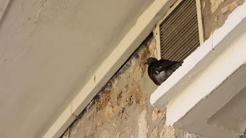 Pigeon House on the cornice Footage