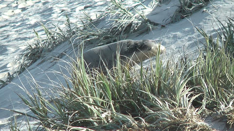 young sea lion climbing up dunes Stock Video Footage