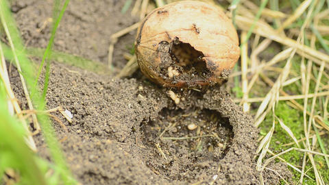 Ants save eggs Stock Video Footage