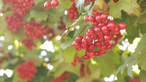 Snowball tree. Red berries close up Stock Video Footage