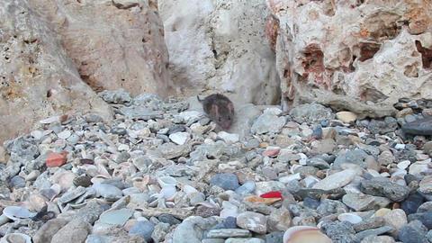Rat closeup found the food and ran away Stock Video Footage
