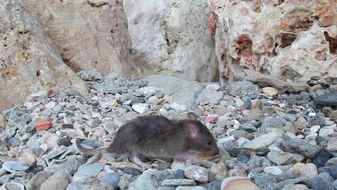 Rat closeup found the food and ran away Live Action