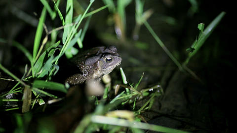 Tropical toad breeding call Stock Video Footage