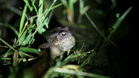 Tropical toad breeding call Footage