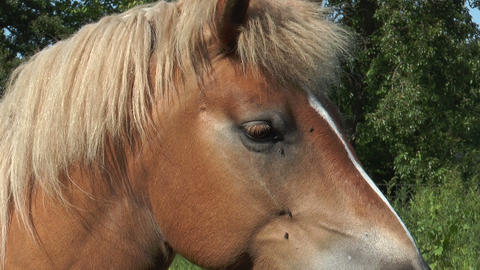 haflinger horse extrem closeup Stock Video Footage