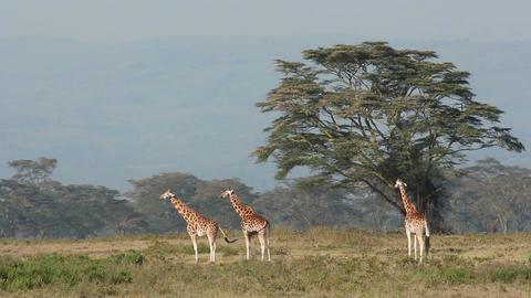 Rothschild's giraffes Stock Video Footage