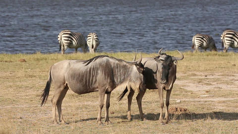 White bearded wildebeest Stock Video Footage