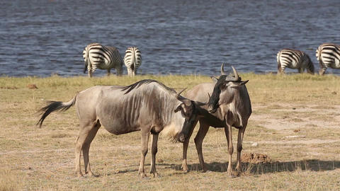 White Bearded Wildebeest stock footage