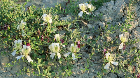 Flowering capers in the wind. Feodosiya. Crimea. U Stock Video Footage