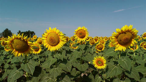 Field of Sunflowers Stock Video Footage