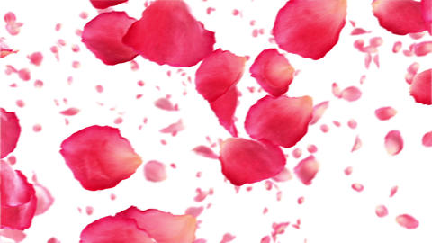 Flying rose petals on white. HD 1080. Looped anima Animation