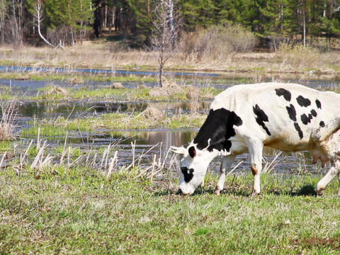 White cow with black spots is the young grass on b Stock Video Footage
