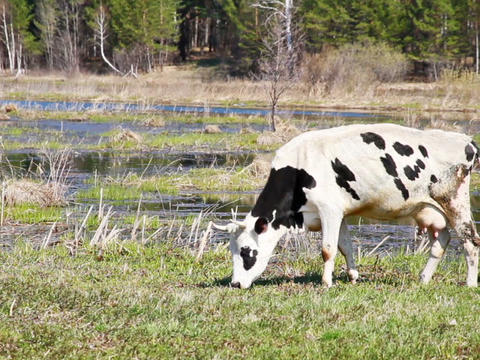 White cow with black spots is the young grass on b Footage