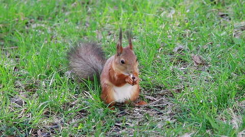 Squirrel eats sunflower seeds on the ground. Then Stock Video Footage
