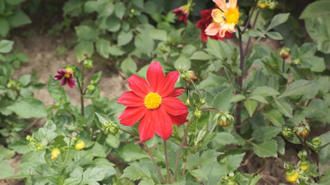 Red flower with a midge Stock Video Footage