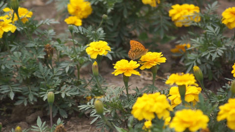 Yellow flowers and a butterly 01 Stock Video Footage