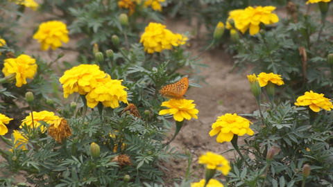 Yellow flowers and a butterly 03 Stock Video Footage
