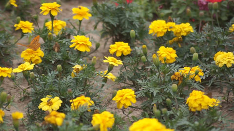 Yellow flowers and a butterly 05 Footage