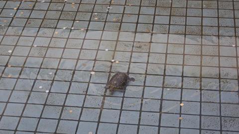 Turtle swim in the pool Stock Video Footage